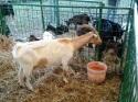 fiera-bestiame2