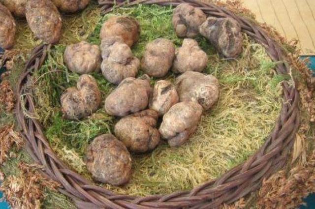A Volterra torna la Mostra Mercato del Tartufo Marzuolo